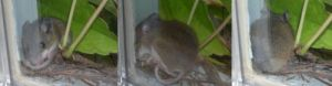 A Deer Mouse settling in for an afternoon nap.