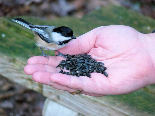 Chickadee by Trevor Gertridge  all rights reserved