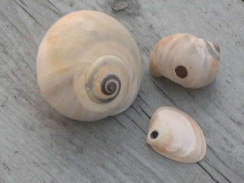 Northern Moon Shell with shells showing bored holes