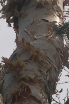 birch-bark-frayed-by-woodpeckers