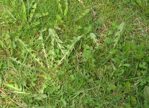 Young Dandelion Leaves in the Lawn