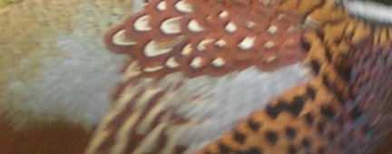 Pheasant Feather Patterns