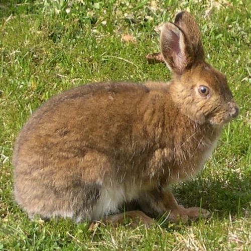Snowshoe Hare in Spring