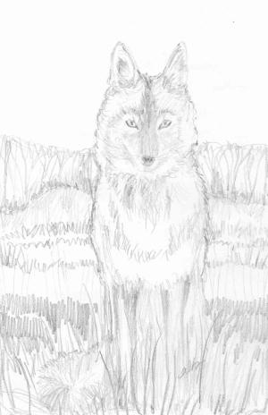 coyote pencil
