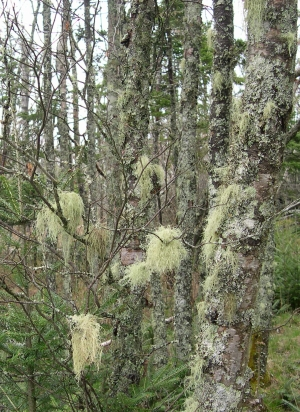 lichens in woods