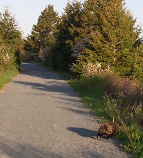 porcupine on the trail