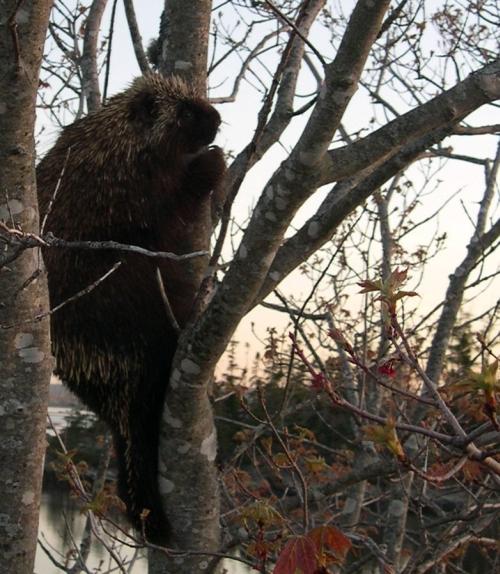 porcupine2