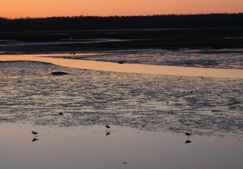 sandpipers-at-dawn