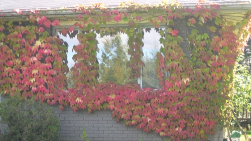 Boston ivy vines in autumn