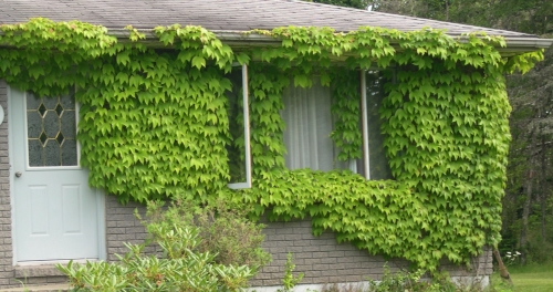 Boston ivy vines in summer