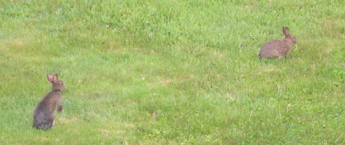 rabbits in grass2