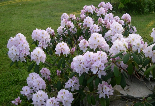 Rhododendrons bloom in early summer.