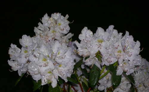 Raindrops glisten on Rhododendrons before dawn.