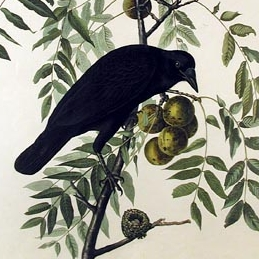 American Crow by Audubon