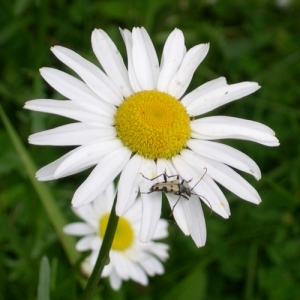 daisy with beetle