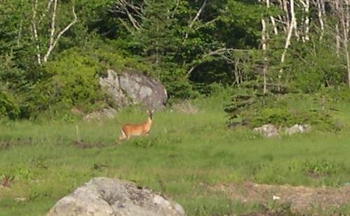 deer in salt marsh