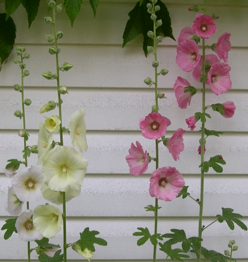 hollyhocks