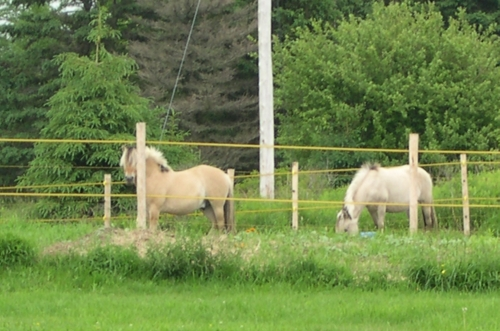 horses in cow bay 2