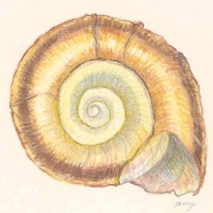 medium shell