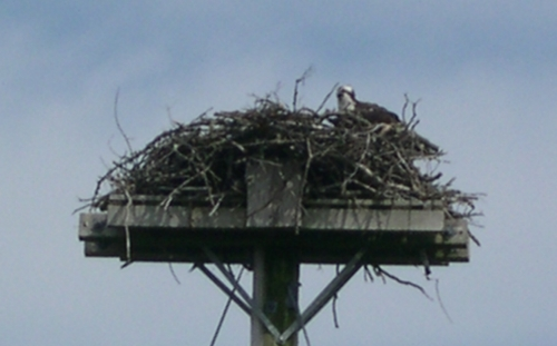 osprey in nest2