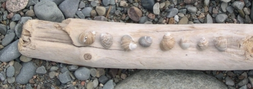 periwinkles on driftwood