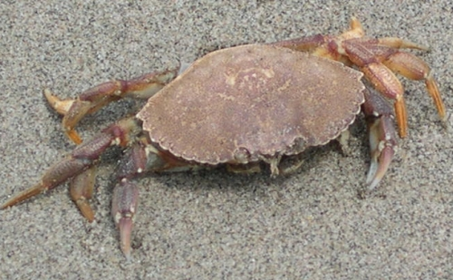 rock crab on sand
