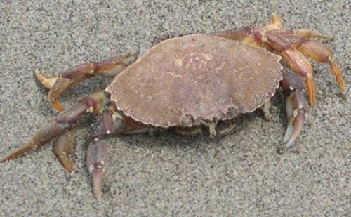 rock crab on sand