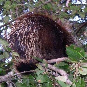 porcupine back