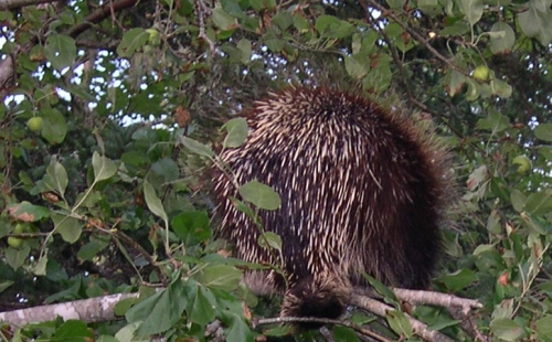 porcupine in apple tree