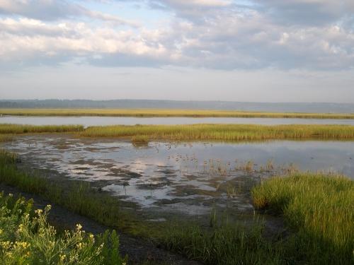 sandpipers in salt marsh