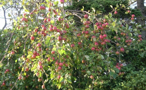 marsh apples