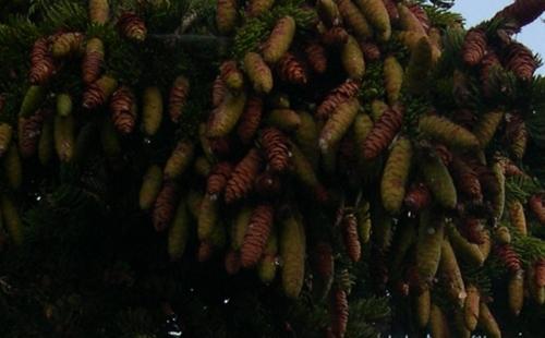 spruce cones2