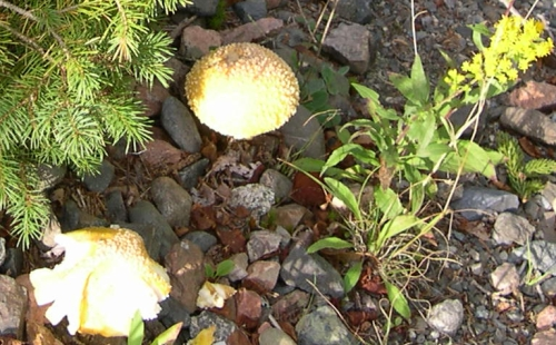 toadstools and goldenrod