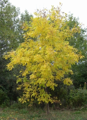 yellow foliage