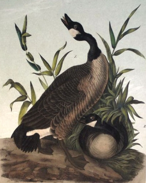 Canada Goose by John James Audubon