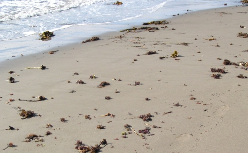 irish moss at rainbow haven beach