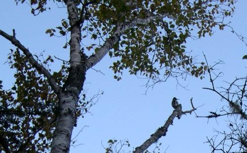 woodpecker on limb