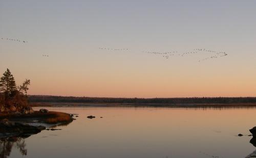 geese arriving 2