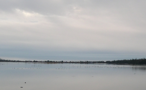 geese in salt marsh