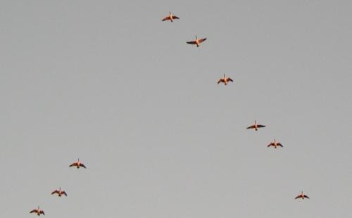 geese overhead 2