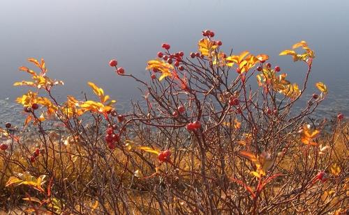 gold rosebush