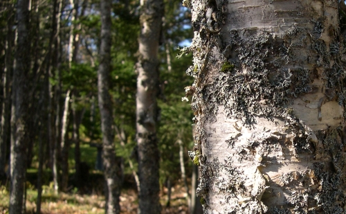 old birch