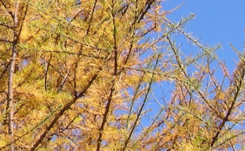 tamarack needles in fall