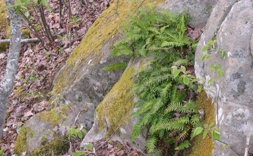 polypody ferns