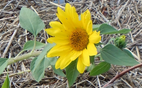 A sunflowers blooms in a bed of dried eelgrass in the salt marsh.