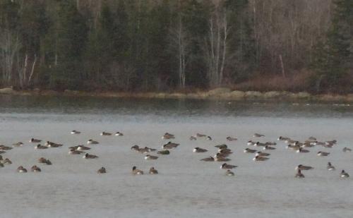 Canada geese awakening