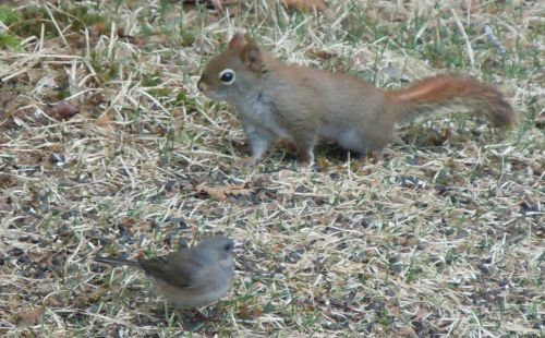 Junco and red squirrel