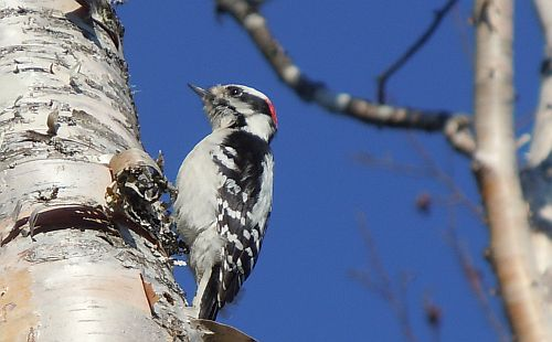 downy woodpecker drumming