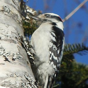 woodpecker drumming