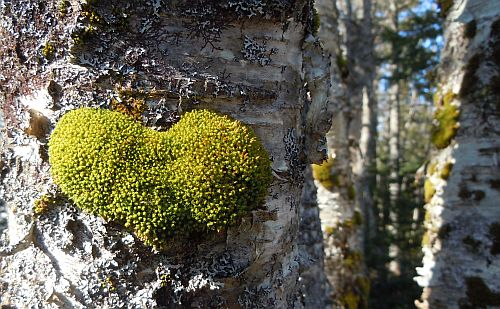 green moss heart on birch tree